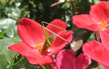 Red flowers and grasshopper.png